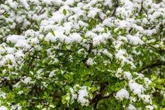 Śnieg na krzakach w 11 2017 Maju, Minsk, Białoruś Zdjęcia Stock