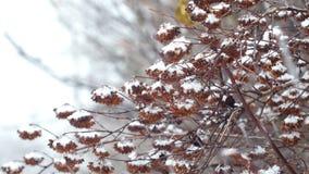 Śnieg na krzaku rozgałęzia się w parku zbiory