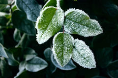 Śnieg na roślinie Obraz Stock