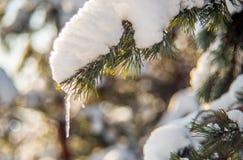 Śnieg na sosnowej gałązce Obraz Royalty Free