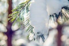Śnieg na sosnowej gałązce Obraz Stock