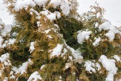 Śnieg na tui rozgałęzia się Fotografia Royalty Free