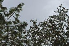 Śnieg na wierzchołkach lasowi drzewa fotografia stock