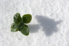 śnieg roślinnych Obraz Stock