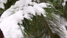 Śnieg Spada na Cedrowym drzewie Śnieżysty cedr w zimie Piękny zielony cedrowy śnieżysty w strzale gałąź zbiory wideo