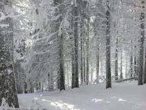 Śnieg spada na jodłach zdjęcia royalty free