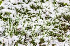 Śnieg spada na trawie w wiośnie, 11 2017 Maj, Minsk, Białoruś Zdjęcie Stock