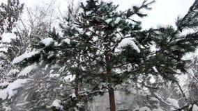 Śnieg spada od gałąź jedlinowi drzewa Piękny zwolnione tempo od zimy świerczyny lasu zbiory