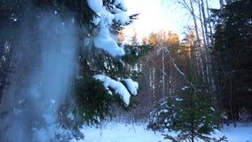 Śnieg spada przy jedlinowych drzew gałąź, zwolnione tempo zbiory wideo