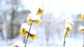 Śnieg spada w zimie lub wiosna na śnieżnej kornaliny wiśni kapuje z kwiatami zbiory wideo