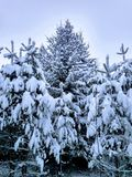 Śnieg w igłach sosna obrazy royalty free