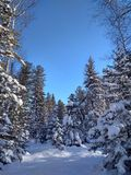Śnieg w igłach sosna zdjęcie royalty free