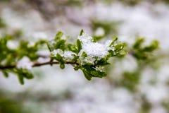 Śnieg w wiośnie, 11 2017 Maj, Białoruś Zdjęcie Stock