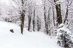 Śnieg zakrywał drzewa w zima lesie przy słonecznym dniem Piękny zimy landscape Fotografia Stock