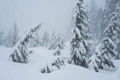 Śnieg zakrywał drzewa wzdłuż snowshoeing śladu na Cyprysowej górze Zdjęcie Royalty Free
