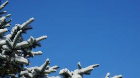 Śnieg zakrywał sosny gałąź przeciw jasnemu niebieskiemu niebu obraz stock