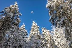 Śnieg zakrywał sosny, Gibbous księżyc, Kentucky Zdjęcia Stock