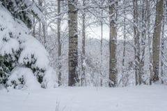 ?nieg Zakrywaj?ca ?wierczyna & osika - kanadyjczyk?w krajobrazy zdjęcie royalty free