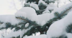 Śnieg zakrywająca błękitna świerczyna kapuje na zima dniu zdjęcia stock