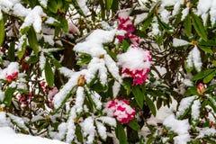 Śnieg zakrywająca hortensja Obrazy Royalty Free