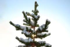 Śnieg zakrywająca mroźna sosna Obraz Stock