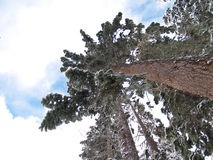 Śnieg Zakrywający Drzewa zdjęcie stock