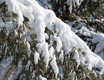 Śnieg zakrywający sosnowy konar fotografia stock