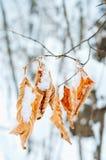 Śnieg zakrywający suchy dębowy liść zdjęcia royalty free