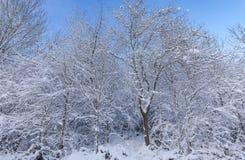 Śniegi Zakrywający drzewa na Jasnym niebieskiego nieba tle Fotografia Royalty Free