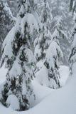 Śniegi zakrywający drzewa na snowshoe wlec na Cyprysowej górze Obrazy Stock