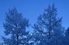 Śniegi zakrywający drzewa z księżyc tłem Obraz Stock