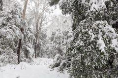 Śniegi zakrywający eukaliptusowi drzewa w Australia Zdjęcie Royalty Free