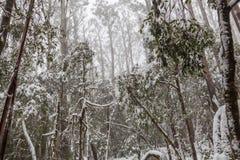 Śniegi zakrywający eukaliptusowi drzewa w Australia Obrazy Stock