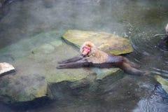 Śniegu małpi relaksować wewnątrz onsen (Japoński termiczny basen) zdjęcia royalty free