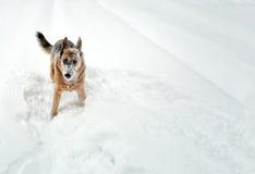Śniegu pies Zdjęcia Royalty Free
