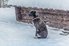 Śniegu pies od Rosja zdjęcia stock