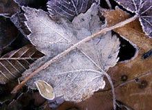 śniegurka liście Zdjęcie Stock
