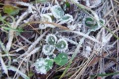 śniegurka liście Obrazy Stock