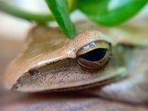 Śpiąca żaba fotografia stock