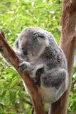 Śpiąca czas koala Obraz Royalty Free