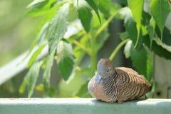 Śpiąca Dzika zebry gołąbka w cieniu drzewo przy balkonem Fotografia Stock