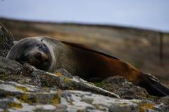 Śpiąca foka w Nowa Zelandia obrazy royalty free
