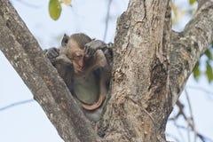 Śpiąca małpa Zdjęcie Royalty Free