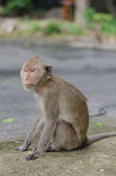 Śpiąca małpa obraz royalty free
