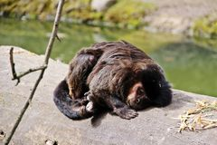 Śpiąca małpa w Salzburg zoo Zdjęcie Royalty Free