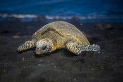 śpiący żółwia Fotografia Royalty Free