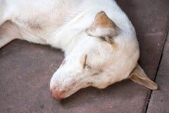 śpiący biały pies Obrazy Stock