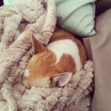 Śpiący chihuahua zdjęcia royalty free