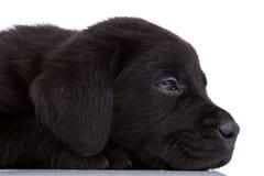 śpiący czarny labrador obraz stock