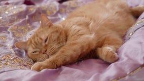 Śpiący czerwony brytyjski kot kłama na fiołek pokrywie w sypialni zdjęcie wideo